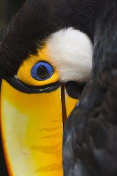 Toco toucan in the Parque das Aves - Foz do Iguacu - Brazil