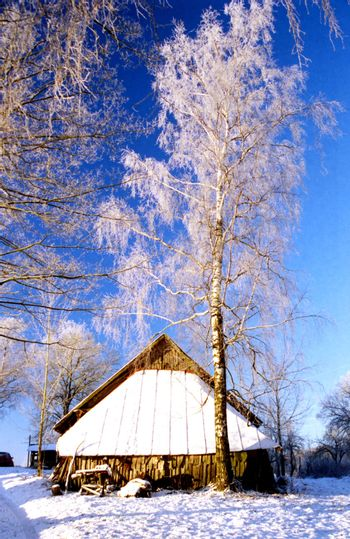 Frosted birch near old farm building in the village