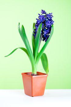 hyacinth blossom in pot