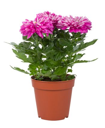 close-up pink chrysanthemum flowers in pot, isolated on white