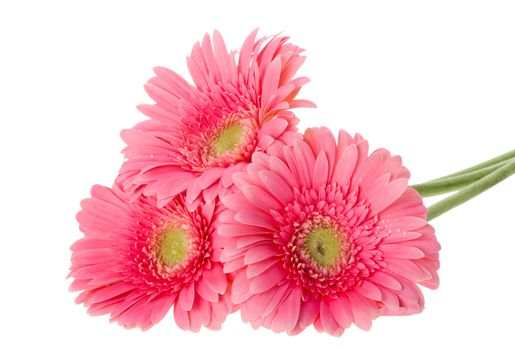 close-up pink gerbera flowers, isolated on white