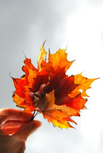 Maple leaves in hand