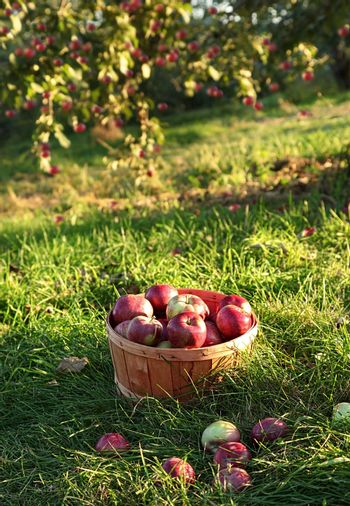 Freshly picked apples in the orchard