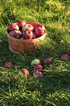 Closeup of freshly picked apples