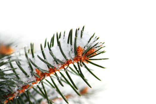 Snowy spruce branch