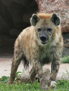 Hyena Stare