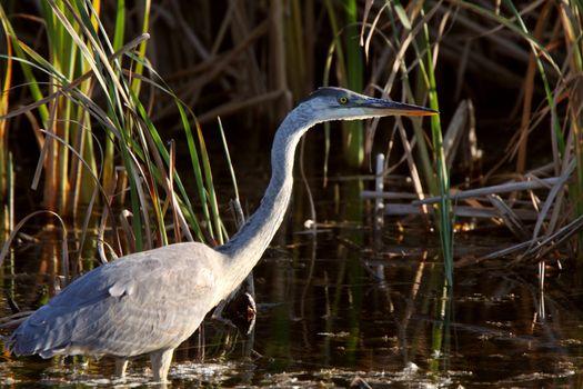 Great Blue Heron wading in Saskatchewan marsh