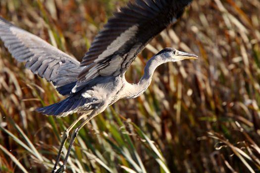Great Blue Heron taking flight from Saskatchewan marsh