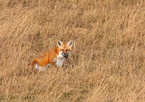 Red Fox in Saskatchewan grasslands