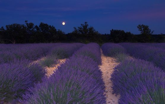 Lavender field in Provence under the moonlight
