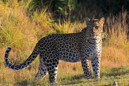 Leopard on the African grasslands