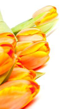 bunch of yellow orange tulips isolated on white