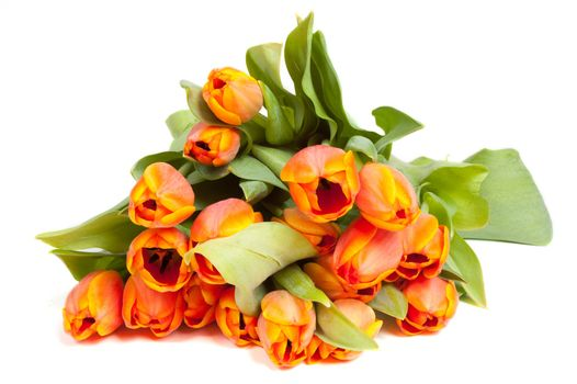 Yellow orange tulips isolated on white background