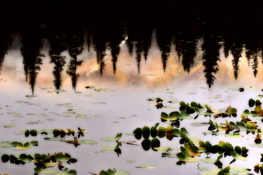 Water Lilly leaves and reflection of Lodgepole Pines