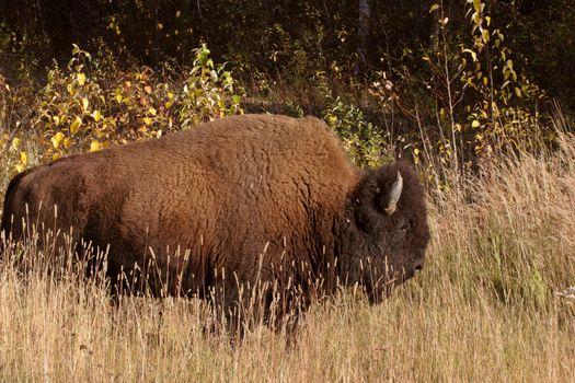 Lone buffalo along Alaska Highway