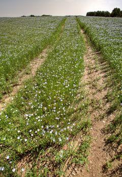 flax fields in Saskatchewan