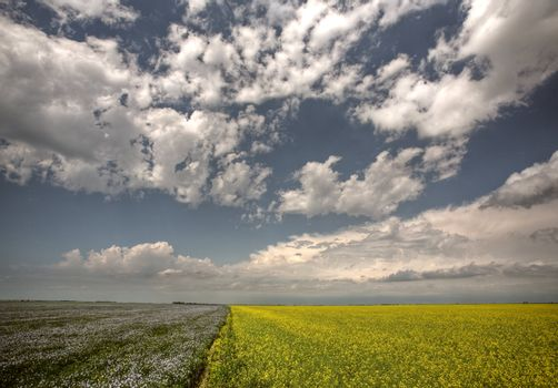 Canola and flax fields in Saskatchewan