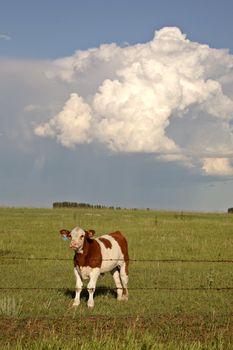 Storm clouds behind a Saskatchewan calf