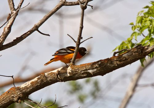 Baltimore Oriole perched on branch