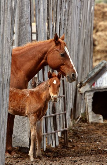 Mare and foal behind board fence