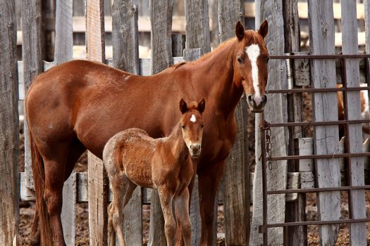 Mare and foal beside board fence