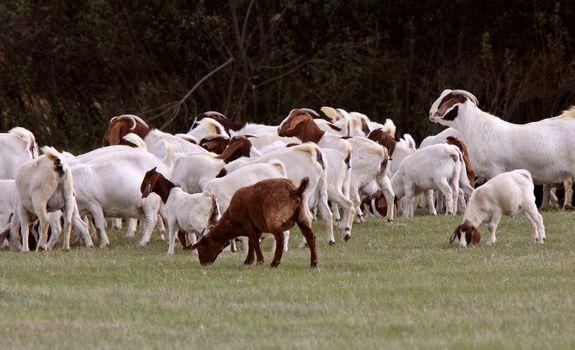 herd of goats in pasture