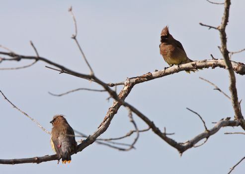 Cedar Waxwing perched in tree