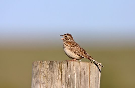 Song Sparrow perched on post