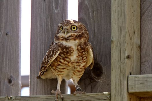 Burrowing Owl perched on fence