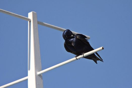 Purple Martin perched on crosspiece