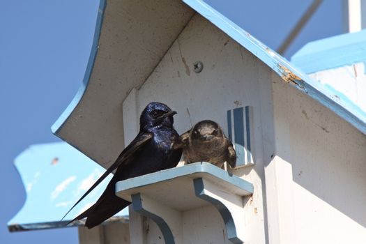 Purple Martins pair at bird house complex