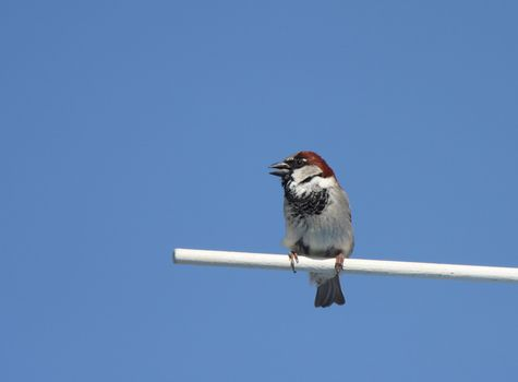 Male House Sparrow perched
