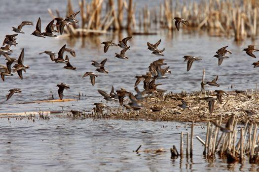Shorebirds giving aerial display over Manitoba marsh
