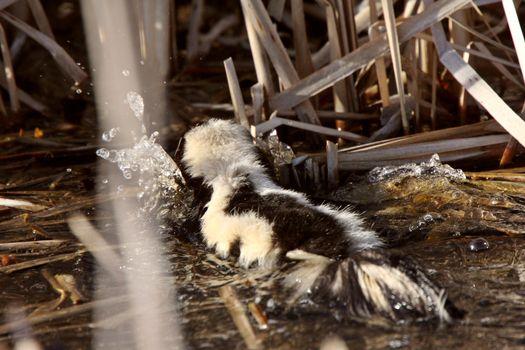 Striped Skunk swimming in marsh
