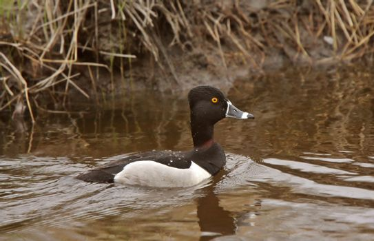male Ring necked Duck swimming in roadside ditch