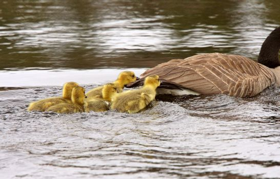 Canada Geese parent with goslings in pond