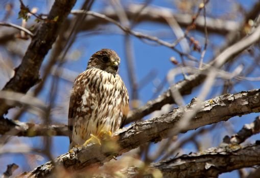 Gyrfalcon perched in tree