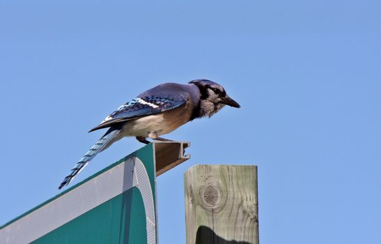 Blue Jay perched on sign