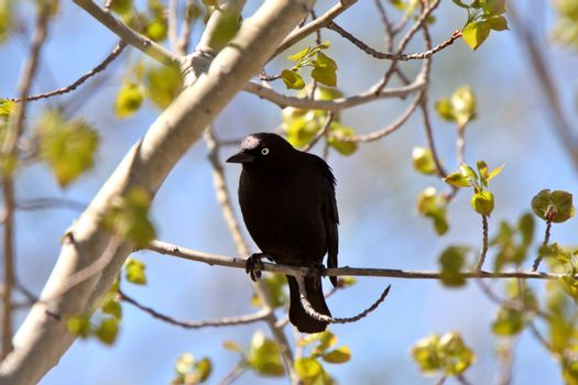 Brewer's Blackbird perched in tree
