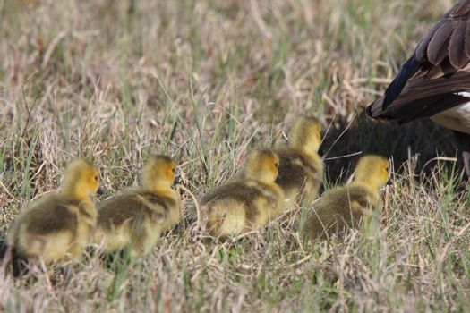Canada Geese parent with goslings in grass