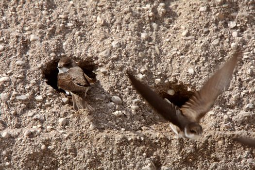 Bank Swallows nest on side of gravel mound