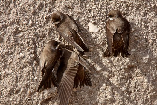Bank Swallows clinging to side of gravel mound