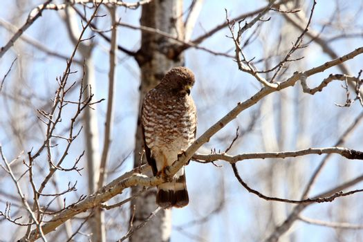 Broad winged Hawk perched on tree branch