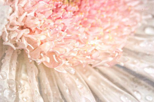 Pink chrysanthemum with antique distress