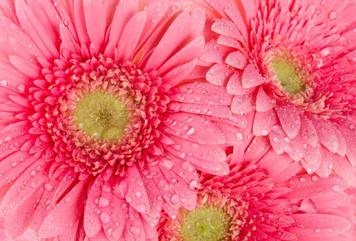 background from wet pink gerbera flowers
