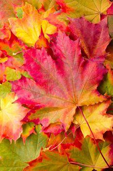 autumn maple leaf on leaves background
