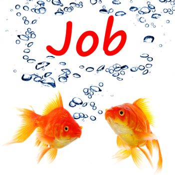 find a job concept with goldfish on white background