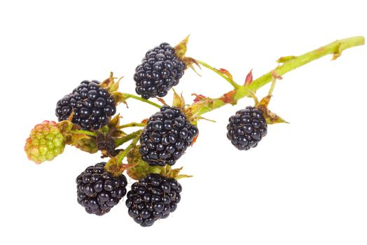 close-up blackberry branch, isolated on white