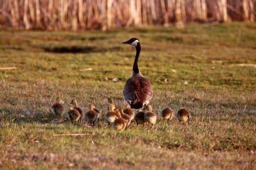 Goslings following Canada Goose parent