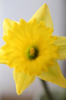 Yellow daffodil in spring